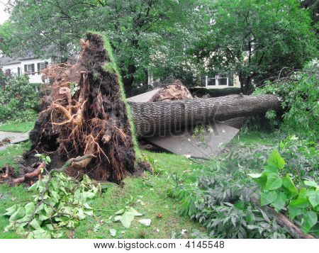 Uprooted Tree From A Storm