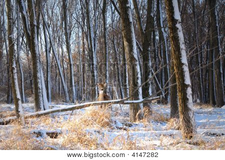 Beautiful Deer In Winter Woods