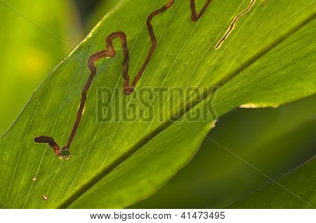 Feeding tunnel of a leafminer larva