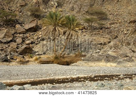Palm trees in an arid Wad