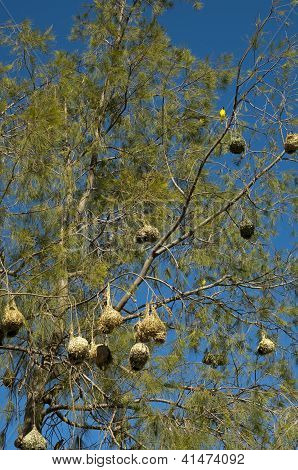 Nests of the Cape weaver