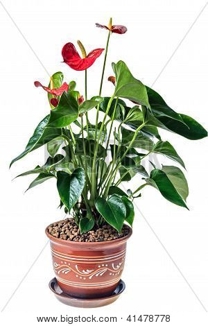 Red Anthurium In A Pot