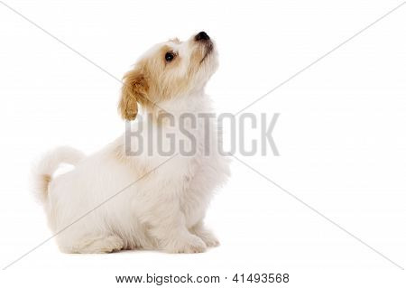 Puppy Sat Looking Up Isolated On A White Background