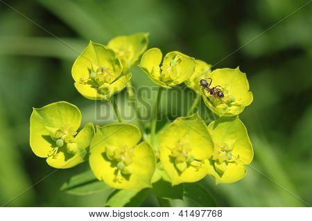 Euphorbia Esula And Ant.