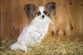 pic of epagneul  - Papillon dog sitting on a straw on a background of wooden boards - JPG