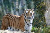 pic of leipzig  - Diese Tigerdame habe ich im Leipziger Zoo aufgenommen - JPG