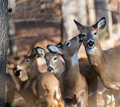 picture of deer family  - Deer family in winter forest - JPG