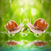 Love making snails couple on a dewy grass. Love metaphor.