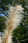 foto of pampas grass  - Close up of pampas grass in the sunlight - JPG