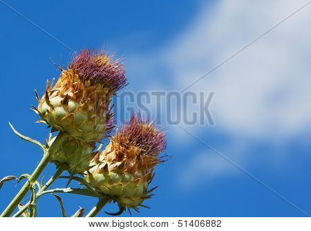 Wild Artichoke against a blue sky with white clouds