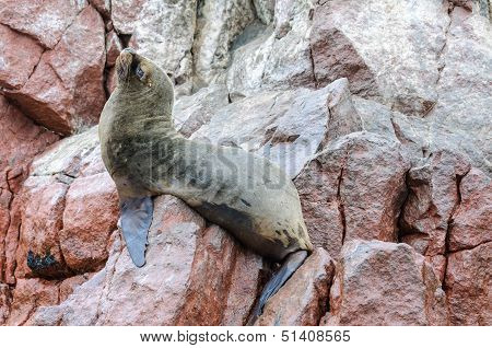 Sea Lion In Islas Ballestas, Peru