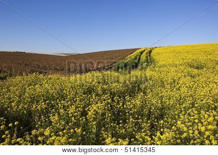 Dessicated Potato Crop With Mustard