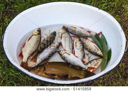 Freshly Caught Lake Fish