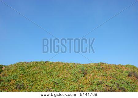 Crystalline Iceplant Or Mesembryanthemum Crystallinum Field