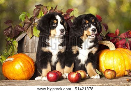 basset hound and pumpkin yellow