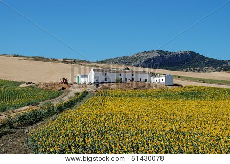 Sunflower field and cortijo, Andalusia, Spain.