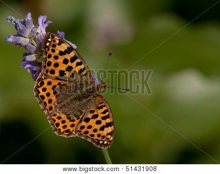 Queen Of Spain Fritillary (Issoria Lathonia), Sweden