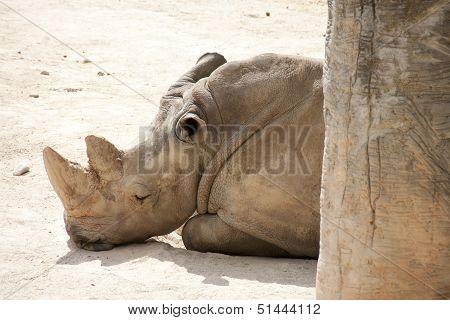 Rhino In A Sun