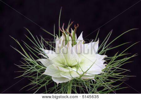 White Nigella Bloom