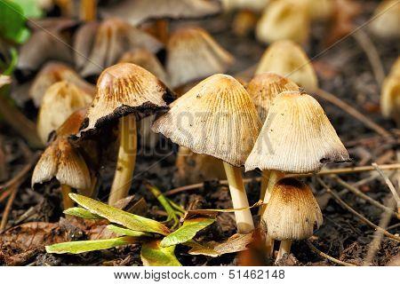 poisonous mushrooms Entoloma cetratum