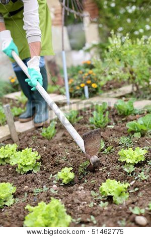 Woman gardening lettuce in kitchen garden