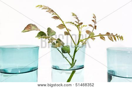 Three Blue Glasses Of Water With Sprig Of Leaves