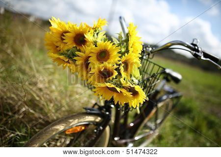 Beautiful sunflowers on a bicyle s basket