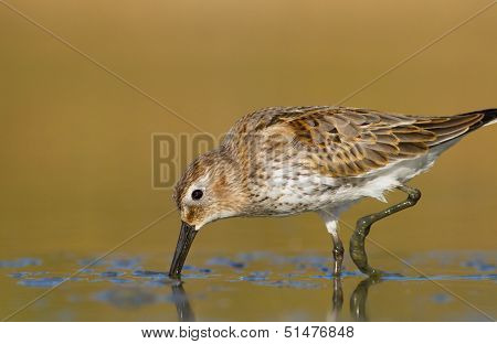 The Dunlin- Calidris alpina