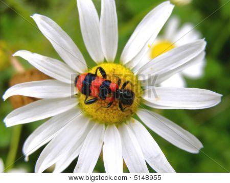 Bug On Chamomile
