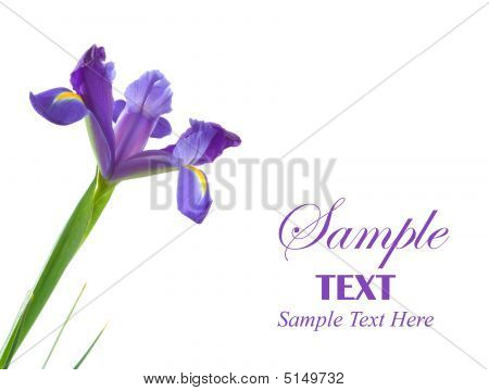 Dutch Iris Flower