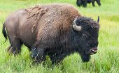 American Bison In The Yellowstone National Park