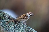 image of bird fence  - The Eurasian tree sparrow (Passer montanus) also known as German Sparrow is a seed eating bird usually on the ground in flocks. Uppland Sweden