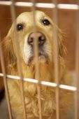 picture of veterinary surgery  - Golden Retriever Dog In Cage At Veterinary Surgery - JPG