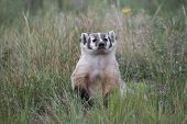 picture of badger  - This American Badger was resting after he had completed a successful hunt in a field in the Colorado Rocky Mountains - JPG