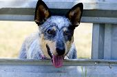 stock photo of cattle breeding  - Australian Cattle Dog a Bluie Heeler Puppie waiting at the corral gate - JPG