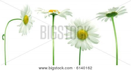 Mix Of Daisies