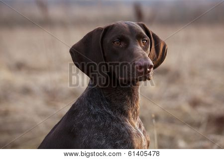 Hunting Dog Sits And Stares Ahead