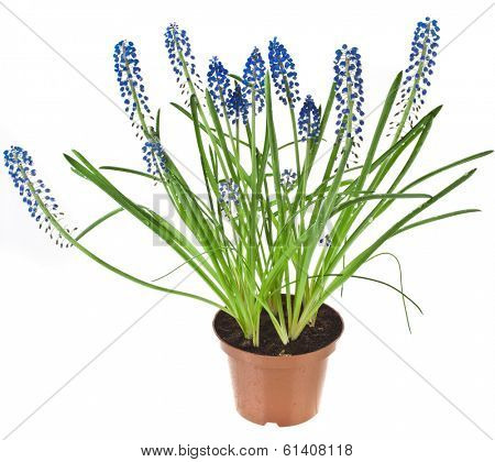 Blue Spring flowers Muscari in flowerpot Isolated on white background