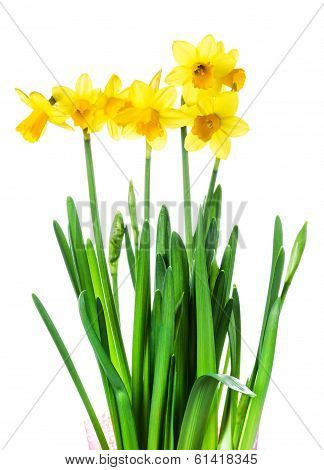 Yellow Flowers On White Background Close Up.spring  Flowers Or Narcissus Bouquet Over White Backgrou