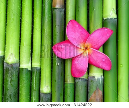 Pink plumeria on green bamboo