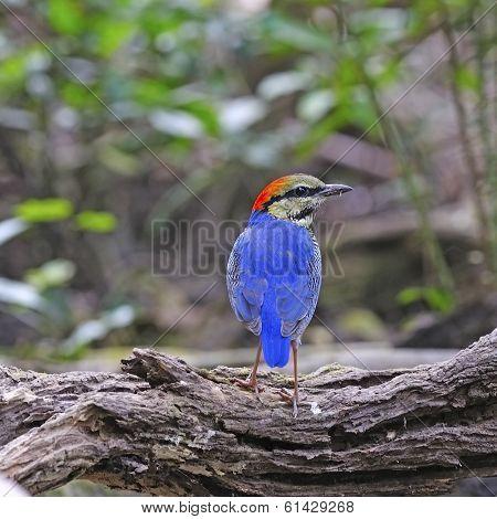 Male Blue Pitta
