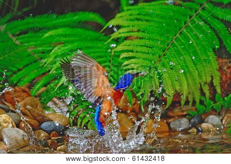 Blued-eared Kingfisher