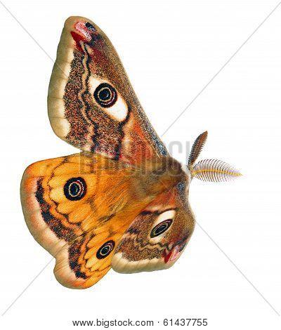 flying silkmoth (Saturnia pavoniella)
