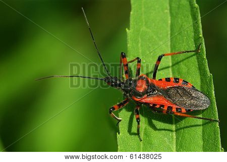 Assassin bug Rhynocoris iracundus