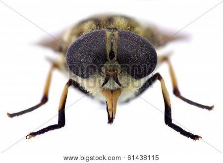 Horsefly look (Tabanus sp.)