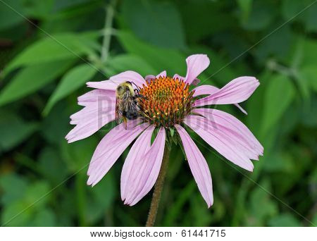 Bumble bee collects pollen on a cone flower