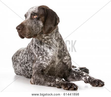 german shorthaired pointer laying down isolated on white background