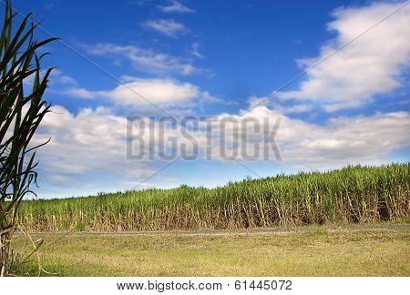Sugar Cane Plantation Sugarcane Used In Biofuel Ethanol