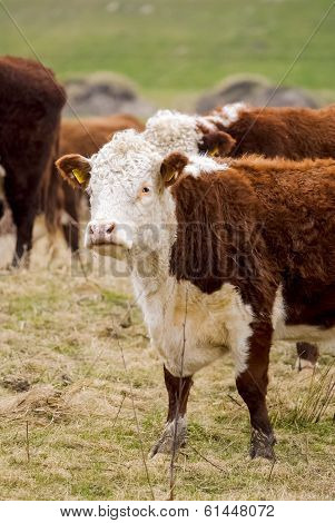 Close-up Of Hereford Cow