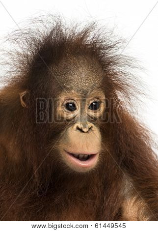 Close-up of a young Bornean orangutan, Pongo pygmaeus, 18 months old, isolated on white